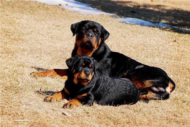 Rottweiler dog breeders ontario